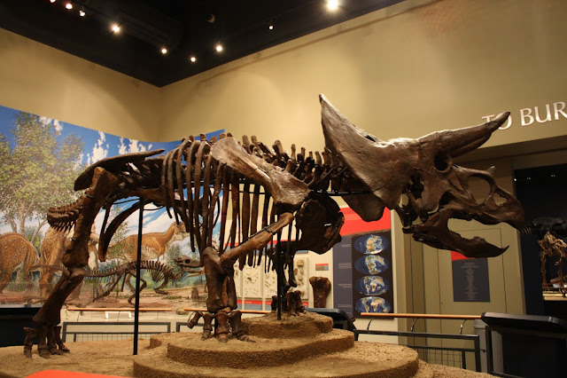 Triceratops at Burpee Museum of Natural History in Rockford IL