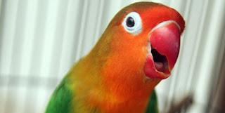 Burung Lovebird - Permasalahan Burung Lovebird Cacat Kaki dan Cara Mengatasinya - Penangkaran Burung Lovebird
