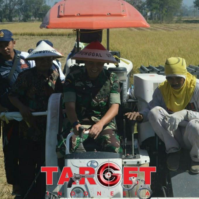 Dalam Menjaga Ketahanan Pangan Kodim 0718 Pati Melaksanakan Panen Raya Bersama Warga Desa Tlutup