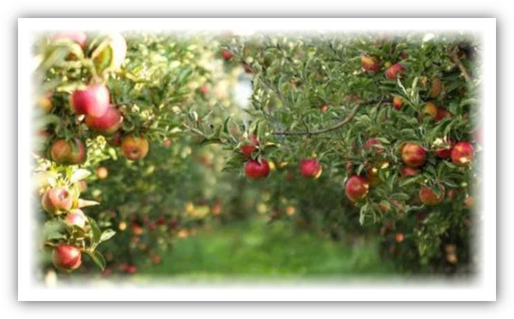 أزمة اقتصادية تهدد ضيعات التفاح بإقليم ميدلت بسبب كورونا