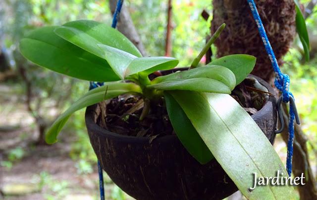 Orquídea phalaenopsis na casca do coco
