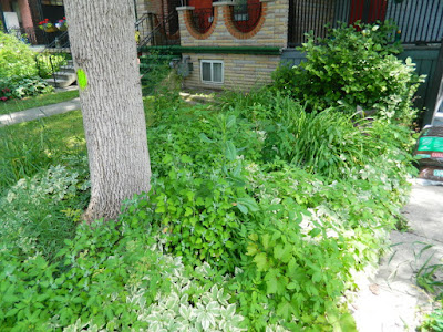 Little Italy Front Garden Cleanup before by Paul Jung Gardening Services Toronto
