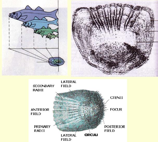 Circulus pada sisik ikan yang menggambarkan umur ikan