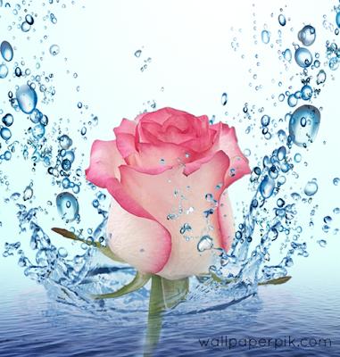 rose under  water splash  wallpaper images