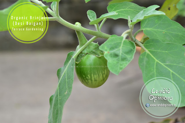 Growing Organic Brinjal On Terrace Garden
