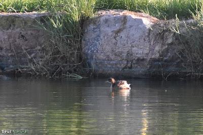 Cabusset (Tachybaptis ruficollis)