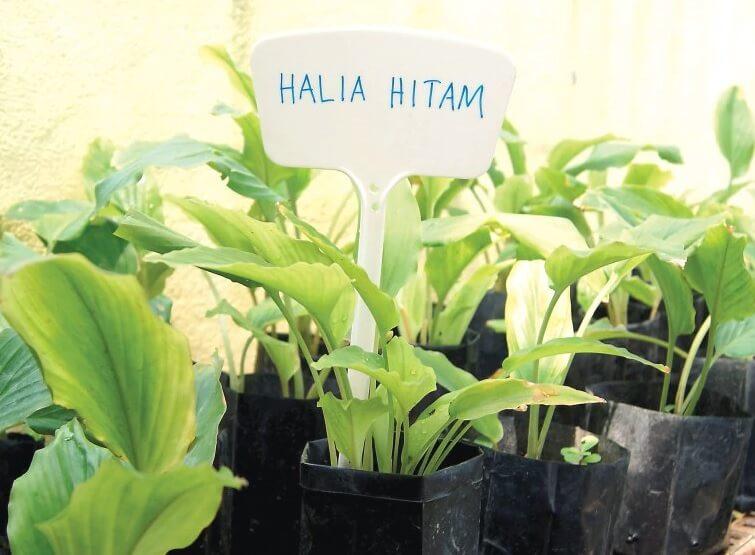 Halia Hitam Kaempferia Parviflora