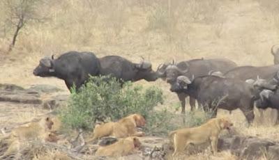 Gambar kawanan kerbau liar Afrika dan singa.