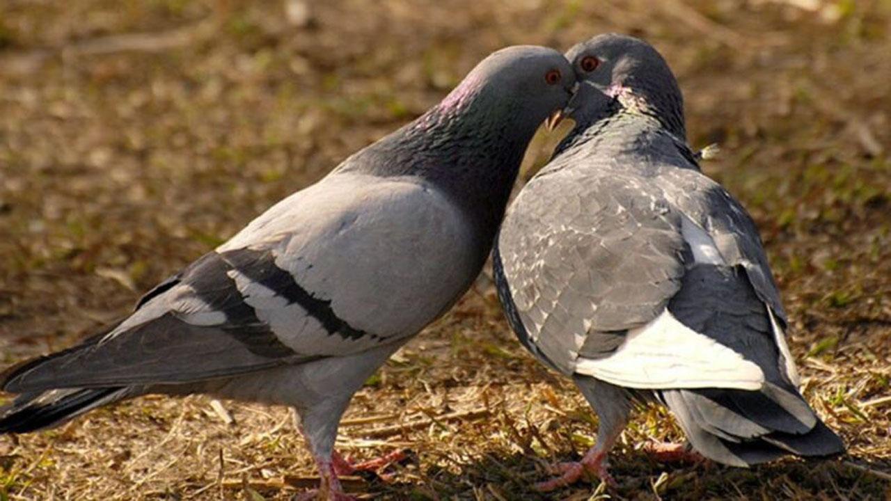 perbedaan burung merpati