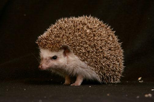 حيوان القـنـفـذ ( الدعلج ) 3904_file_hedgehog1.