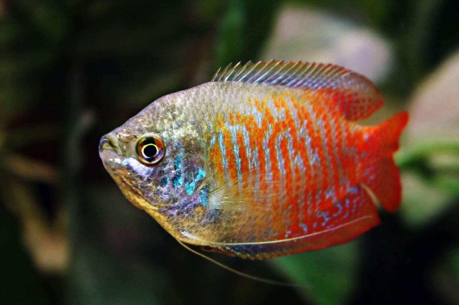 Ikan Mini Gurame Hias Dwarf Gourami Beserta Harganya Ikanesia Id