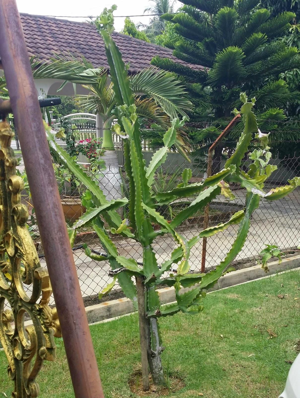 Habis Koyak Baju Di Kerjakan Oleh Pokok Kaktus Ini