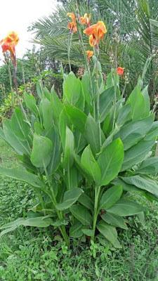 वैजयंती माला का पौधा कैसा होता है?