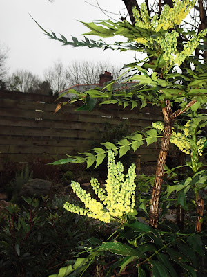 Mahonia scented winter shrub Green Fingered Blog