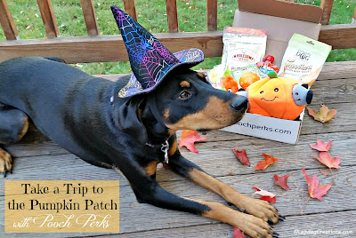 doberman mix puppy in witch's hat