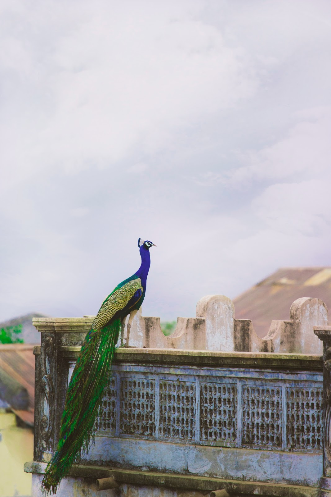 peacock-on-house-top-images