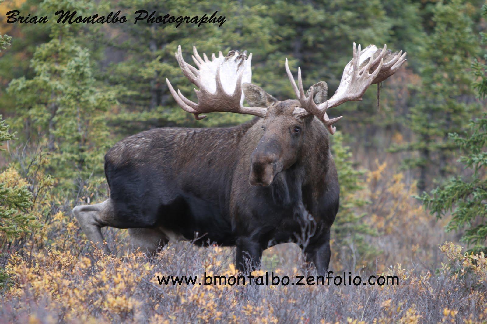 biggest moose - photo #1