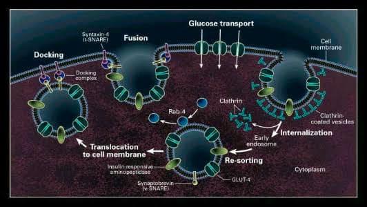 The Relationship between Glucose & Insulin Type 2 Diabetes