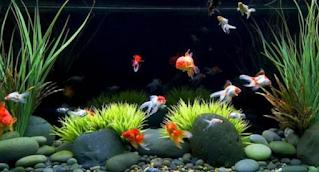 Cara Budidaya Ikan Mas Koki Di Aquarium