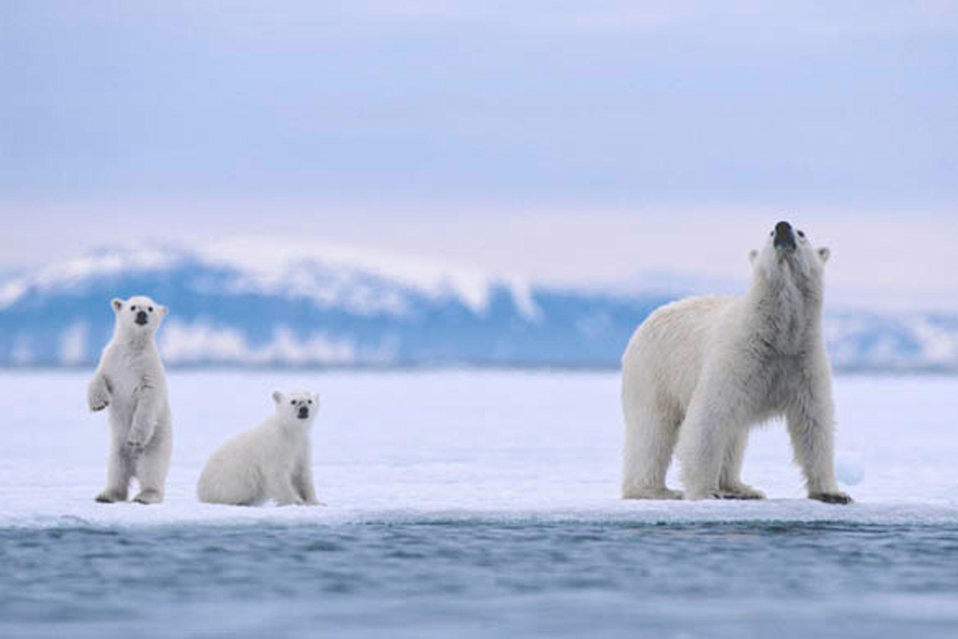 Белые медведи Шпицбергена