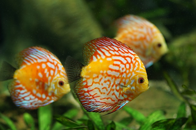 9+ Best And Colorful Freshwater Fish For Aquarium