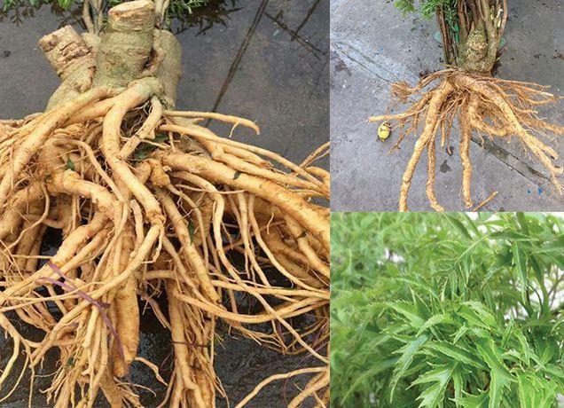 ĐINH LĂNG - Polyscias fruticosa - Nguyên liệu làm Thuốc Bổ, Thuốc Bồi Dưỡng
