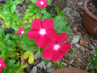 Mengenal lebih jauh cara tanam bunga vinca yang indah