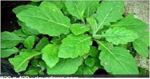 daun dewa untuk kesehatan