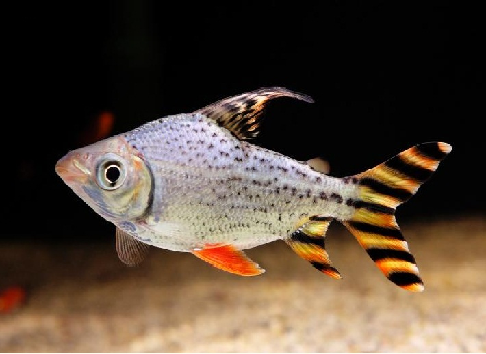 Flagtail Fish