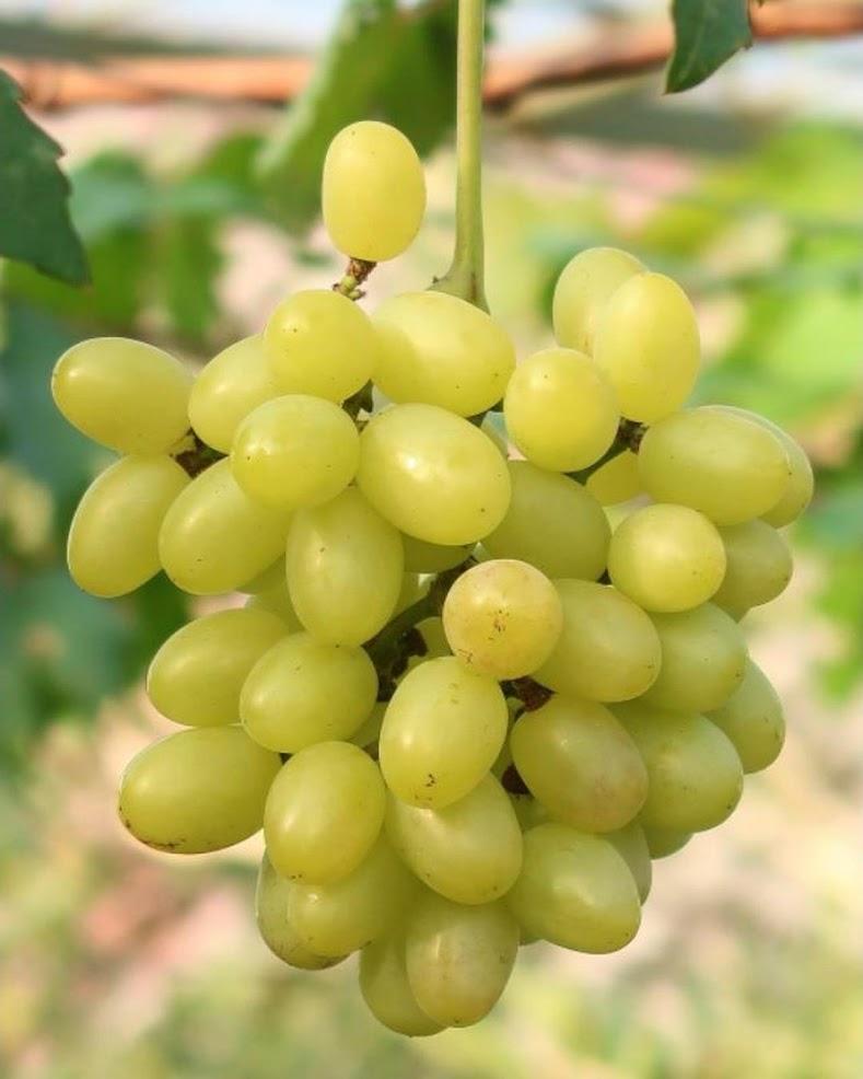 bibit anggur impor tranfiguration Sabang