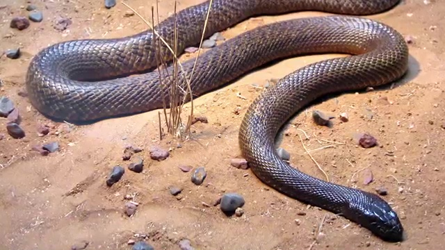 Top 10 Deadliest Snakes in the World, The Inland Taipan