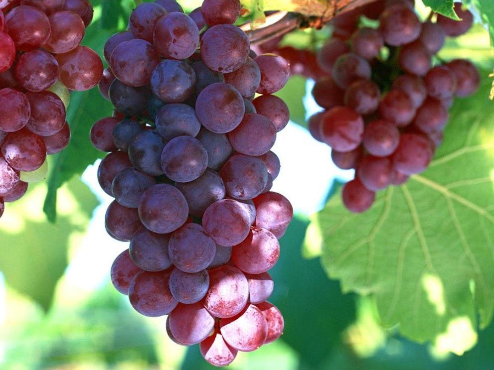 Bibit Buah Anggur Merah Lokal Magelang