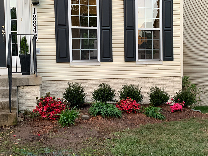 Holly and azalea bushes in place in the new flower garden
