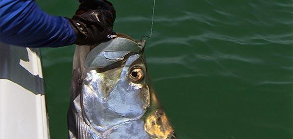 Tarpon Fishing Tampa Bay