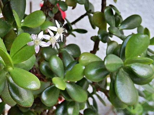 Flowering Jade Money Plant