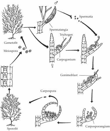 cara reproduksi/perkembangbiakan metagenesis (pergiliran keturunan) pada Rhodophyta (alga/ganggang merah) Polysiphonia