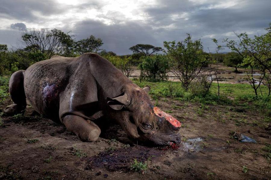 Rinoceronte negro, Zambia