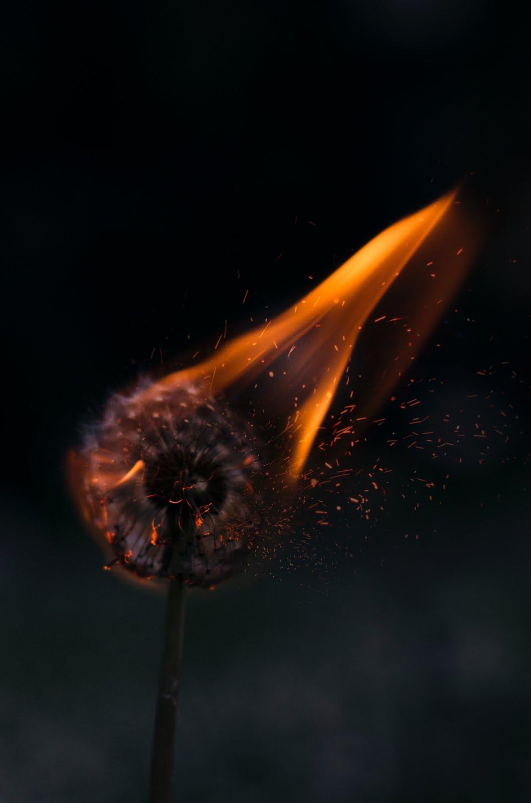 زهرة مشتعلة وراء خلفية سوداء