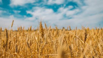 buğday ne kadar dayanır