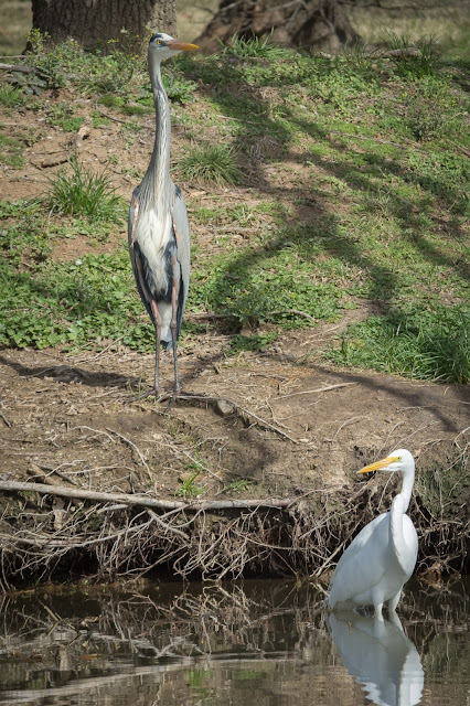 Great Blue Heron and Great Egret, Colleyville Nature Center