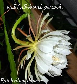 Epiphyllum thomas