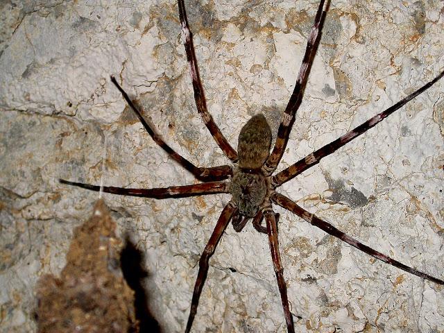 Viridasius fasciatus
