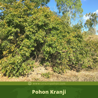 Pohon Kranji