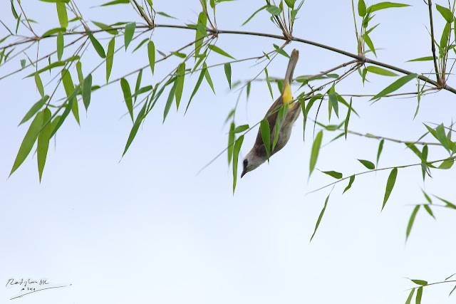 bird bulbul jumping from a bamboo tree