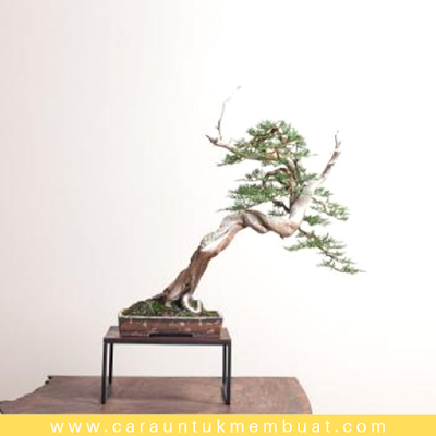 Bonsai Juniperus Chinensis Shimpaku 1