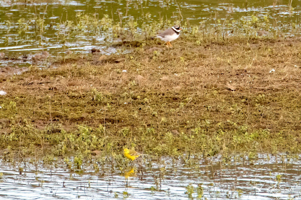 Ringed plover and yellow wagtail