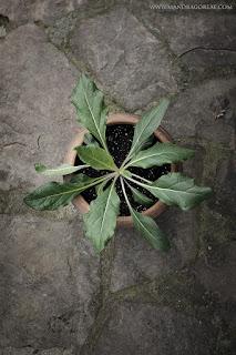 Mandragora Autumnalis, Mandrake, Autumn Mandrake, Black Mandrake, Nightshade, Mandragoreae by Victoria Francés