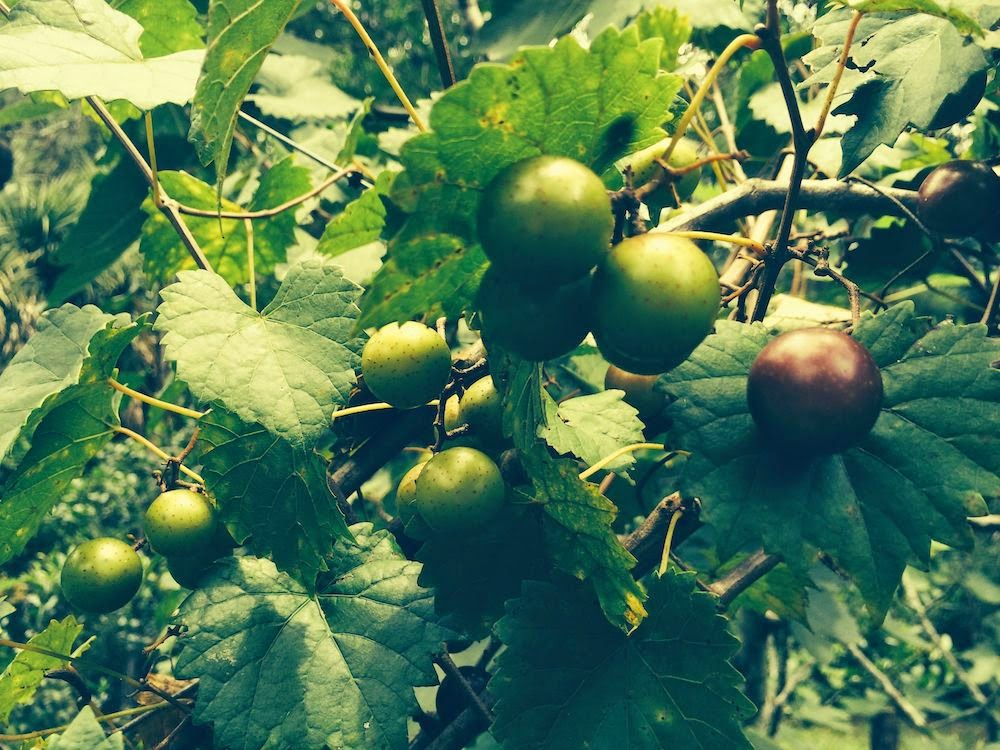 Close-up photo of muscadine grapes growing on grapevine