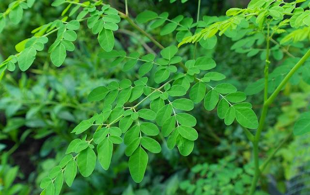 Banyak sekali manfaat daun kelor untuk kesehatan tubuh, baik kesehatan mata, rahim, kulit wajah, dan bahkan ibu hamil.