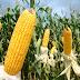 Morgan lança novos híbridos e apresenta tecnologias para cultura do milho na Expodireto
